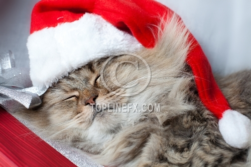 Adult  Christmas cat sleeps in red Santa Claus cap
