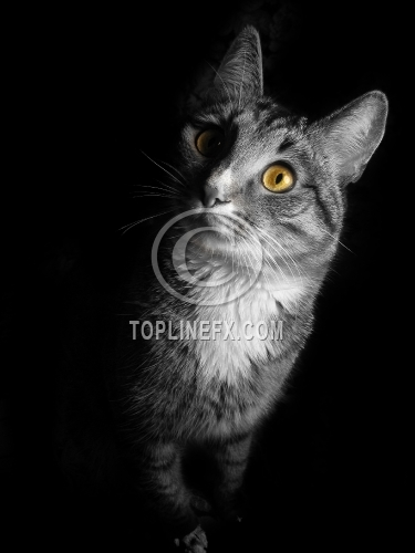 Cat on black background