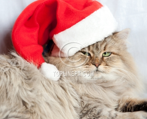 Serious Christmas Cat